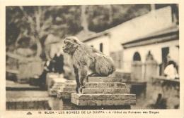 SINGE   GORGES DE LA CHIFFA   BLIDA - Apen