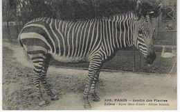 CPA ANIMAUX - ZEBRE  - AFRIQUE AUSTRALE - Equus Zebra ( Linné ) - Jardin Des Plantes Paris - Zebre