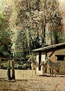 SOUVENIR DU PARC ZOOLOGIQUE DE DOUE-LA-FONTAINE COLLECTION GAY  L'ENCLOS DES ZEBRES - Zebra's