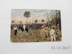 Cuba. - Cutting Sugar Cane. - Kuba