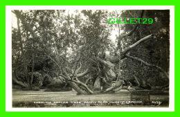 HURSTPIERPOINT,  UK - CAROLINA POPLAR TREE, DANNY PARK - - Angleterre