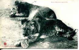 N°58848 -cpa Lions D'Abyssinie Apprivoisés - Lions