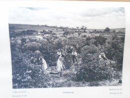 SA185 Old Print  Brazil -Coffee Plantation   (backside : Brasil Brazil - BERTIOGA  )   1931 - Prints & Engravings