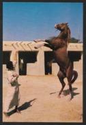 BAHRAIN An Arab Stallion Horse Pferd - Bahrain