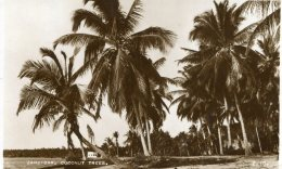 TANZANIA - Zanzibar Cocnut Trees - RPPC - Tanzanie