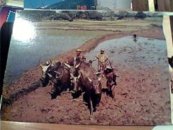 MADAGASCAR LAVORO CAMPI RISO SEMINA PIANTAGGIO  E BUFALI  N1975 GI17597 - Madagascar