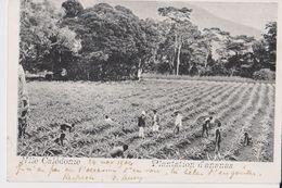 Nlle Calédonie - Plantation D'ananas - 20c - 20/21 Nov 1904 - Nouvelle-Calédonie