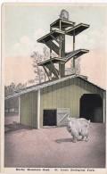 Missouri St Louis Rocky Mountain Goat St Louis Zoological Park