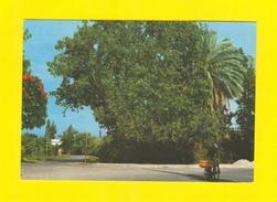 POSTCARD ISRAEL SYCOMORE TREE JERICHO  70s BOT BOTANIC TREES BOTANIQUE - Postcards