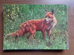 Vos, Fox, Renard, Fuchs / Vakantieverblijf De Heihaas Te Putten (Nederland) --> Written - Animaux & Faune