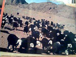 SAUDI ARABIA,ARABIE SAOUDITE,SAUDITA,ARAB EMIRATES,NAJDI SHEEP,NEJDI,MOUTONS,PECORE NERE TROUPEAU,UNAIZAH N1975 GI17732 - Arabia Saudita