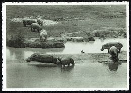 Hippopotames Et Oies D'Egypte - Parc National Albert, Congo Belge - Non Circulé - Not Circulated - Nicht Gelaufen. - Hippopotames