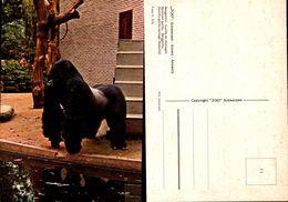Zoo Antwerpen -Gorille De Montagne - Antwerpen