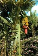 CPSM Canarias-Fleurs Et Bananes      L2417 - Espagne