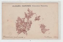 50 - ILE DE TATIHOU / ALGUES MARINES - France