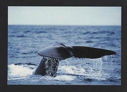 POSTCARD AZORES AÇORES WHALES  AÇORES PORTUGAL  SPERM WHALE CACHALOT Baleine  Z1 - Animales