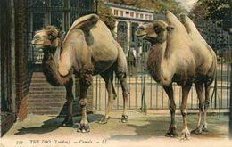 CHAMEAU(LONDON) - Girafes