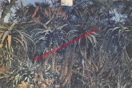 Aloes - Zimbabwe - Zimbabwe