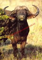 African Buffalo - Zimbabwe - Zimbabwe