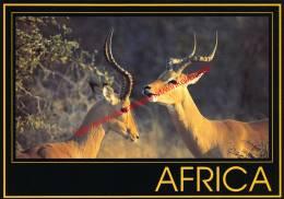 Impala Rams - Zimbabwe - Zimbabwe