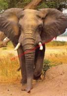 Bull Elephant - Zimbabwe - Éléphants