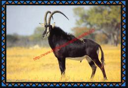 Sable Antelope - Zimbabwe - Zimbabwe