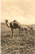 Afrique /////  CPA - Chameaux - Cartes Postales