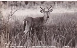 Michigan Newberry Deer In The Velvet Real Photo