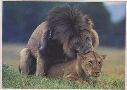 LION,LIONNE,REPRODUCTION,NATURE LIBRE,SEX - Lions