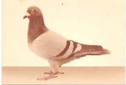 PK - Duif Pigeon - Druk De Smet Antwerpen - Birds