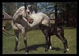 [015] Pferde-Karte 144, Stute Mit Fohlen, Gel. 1981 - Pferde