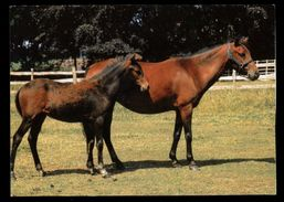 [015] Pferde-Karte 146, Kaspisches Pony, Iran, ~1980, Wendy-Pferderassen - Pferde