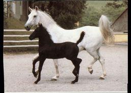 [015] Pferde-Karte 148, Lipizzaner, Stute Mit Fohlen, ~1980, Wendy-Pferderassen - Pferde