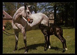 [015] Pferde-Karte 150, Stute Mit Fohlen, ~1980 - Pferde
