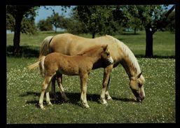 [015] Pferde-Karte 151, Stute Mit Fohlen, ~1980 - Pferde