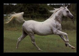 [015] Pferde-Karte 156, Asil-Araber, ~1980 - Pferde