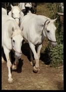 [015] Pferde-Karte 165, Lipizzaner Zuchtstuten, ~1980 - Pferde