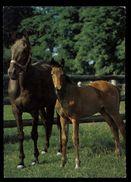 [015] Pferde-Karte 171, Stute Mit Fohlen, ~1970 - Pferde