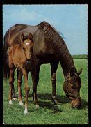 [015] Pferde-Karte 172, Stute Mit Fohlen, ~1970 - Pferde