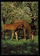[015] Pferde-Karte 175, Stute Mit Fohlen, ~1970 - Pferde