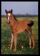 [015] Pferde-Karte 179, Fohlen, ~1980 - Pferde