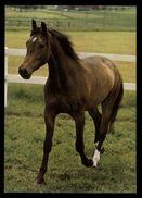 [015] Pferde-Karte 184, Angloaraber, ~1980 - Pferde