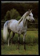 [015] Pferde-Karte 185, Asil-Araber, ~1980 - Pferde