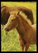 [015] Pferde-Karte 191, Islandpony-Fohlen, ~1980 - Pferde