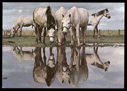 [015] Pferde-Karte 215, Pferde Der Carmague, ~1980 - Pferde