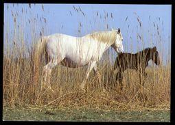 [015] Pferde-Karte 216, Pferde Der Carmague, ~1980 - Pferde