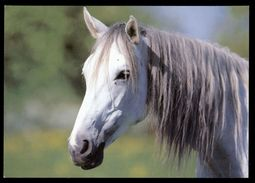 [015] Pferde-Karte 222, Trakehner, ~1980 - Pferde