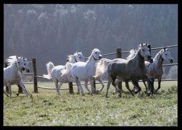 [015] Pferde-Karte 226, Pferde-Gruppe, ~1980 - Pferde
