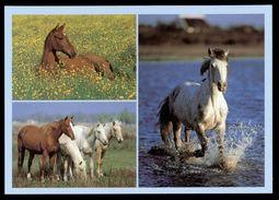 [015] Pferde-Karte 227, Holsteiner, Camargue-Araber, Berber, ~1980 - Pferde