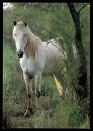[015] Pferde-Karte 228, Pferd In Camargue, ~1980 - Pferde